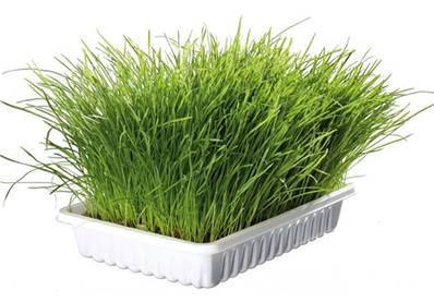 Trixie Cat Grass Barley Seed Bowl/approx 100g
