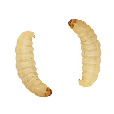Store Collection Only Waxworms Tub 15g